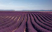 pic of plateau  - Lavender flower blooming fields - JPG