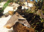 pic of cuttlefish  - Cuttlefish close up - JPG