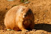 picture of groundhog day  - Prairie closely waiting what happen in sand - JPG