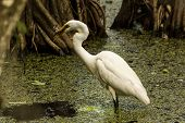 stock photo of swamps  - A great egret eating a fish in a swamp. Corkscrew Swamp Sanctuary, Naples, FL, USA.