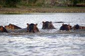 picture of sub-saharan  - The hippopotamus  - JPG