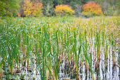 stock photo of bulrushes  - Bulrush waving in the wind in autumn - JPG