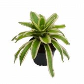stock photo of bromeliad  - bromeliad in pot isolated on white background - JPG