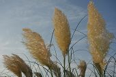 stock photo of pampa  - Light golden colored pampas grass  - JPG