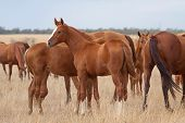 picture of steppes  - Herd of Russian Don horses in the steppe - JPG