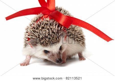 White hedgehog is sniffing around