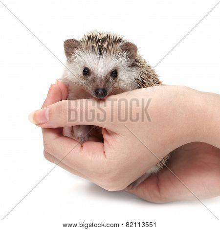 Handful of hedgehog