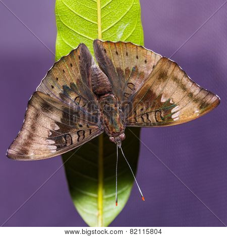 Mango Baron Butterfly