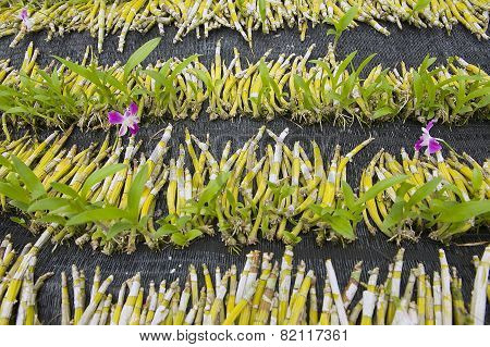 Orchid seedlings at the orchid farm in Samut Songkram, Thailand.