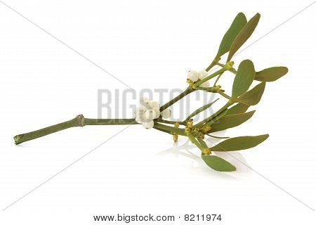Mistletoe Leaf Sprig with Berries