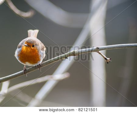 small cute robin bird perched