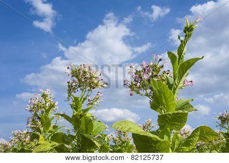Tobacco plants nad flowers.