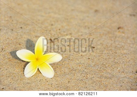 Frangipani Flower on the Beach in Early Morning Sunlight