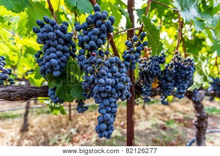 Ripe Grapes on Vine In Napa Valley