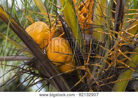 Coconuts, La Digue, Seychelles