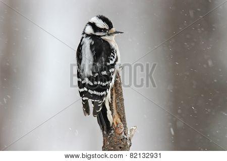 Snowy Woodpecker