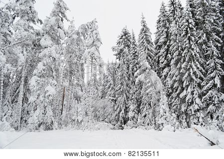 Winter Forest.