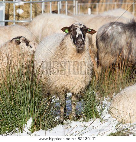 Adult Sheep