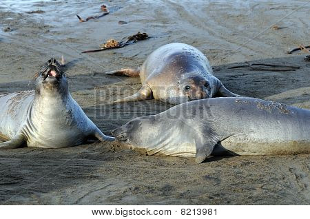 Elephant Seals Cavorting