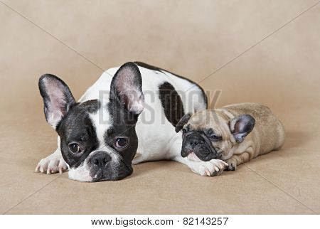 French Bulldog Mommy With Puppy
