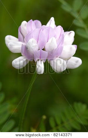 Flower With White And Purple Blossom