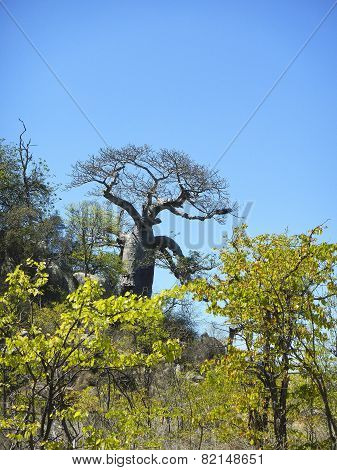 baobab in the bush, Kruger, South Africa
