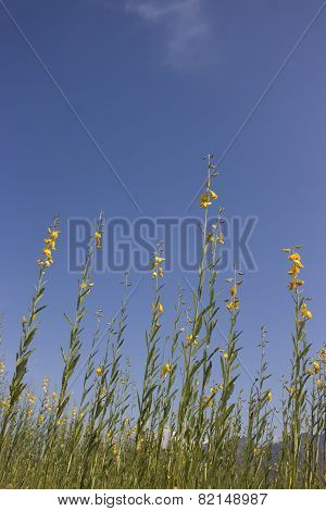 Rapeseeds or canola