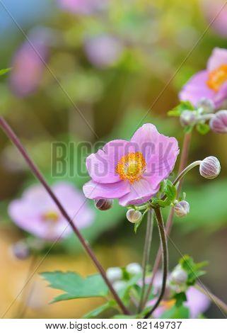Geum Quellyon Flower