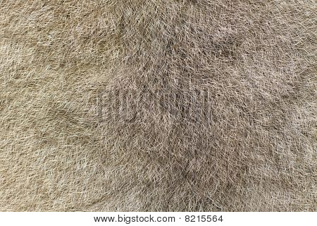 Fur Of An Australian Brushtail Possum