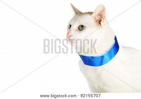 Cat  With  Blue Ribbon
