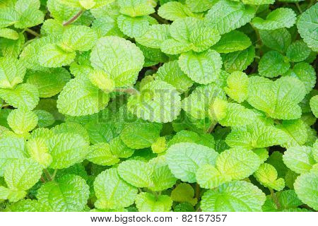 Mint Or Peppermint Texture