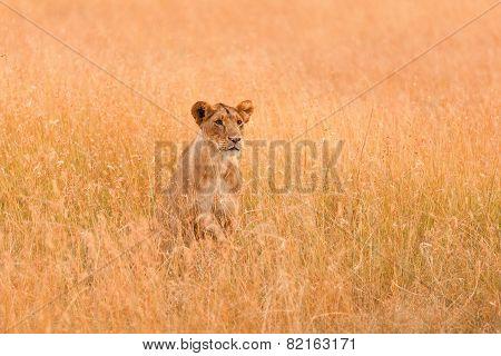 Female Lion In Masai Mara