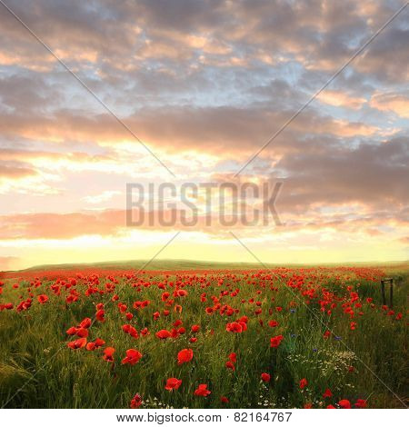 Wheat Field With Red Poppies And Chamomile - Dreamy Sunset Scenery