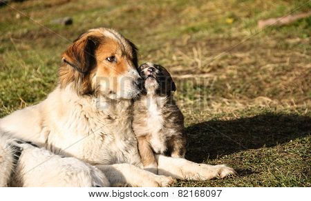 Shepherd Dog And Her Young.