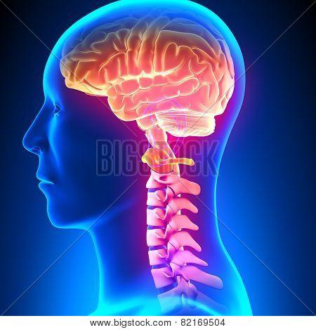 C1 Disc - Cervical Spine