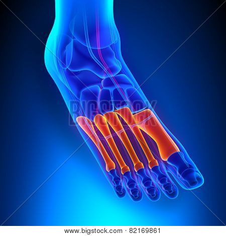 Metatarsals Bones Anatomy With Circulatory System
