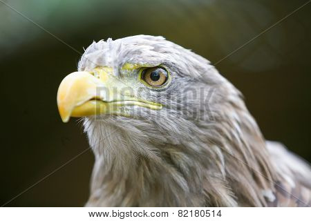 Close Up Of White Tailed Eagle