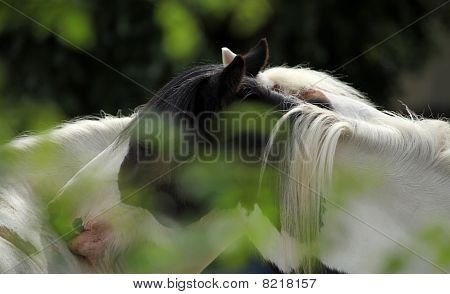 Two Horses Necking