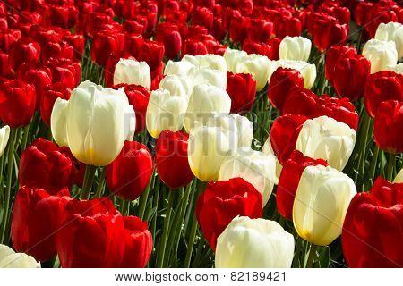 Tulips In Keukenhof Park
