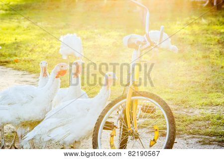 Turkeys And Old Bicycle At Sunset, Backlit
