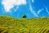 stock photo of cameron highland  - beautiful landscape of tea plantation in Cameron Highlands Malaysia - JPG