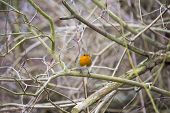 foto of red robin  - Robin Red Breast spotted in park in London UK - JPG