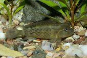 picture of butterfly fish  - Nice cichlid fish from genus Steatocranus in aquaraium - JPG