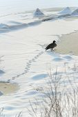 pic of snow goose  - A Canada Goose walks through snow on a frozen river in Boston MA.