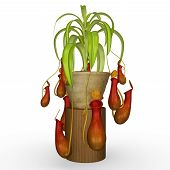 stock photo of carnivores  - insectivorous plant  - JPG
