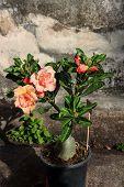 foto of desert-rose  - Tropical flower  - JPG