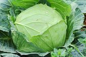 foto of aphid  - Green cabbage and aphid in vegetable garden - JPG