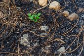 picture of ashes  - Small plan growing on the ash after grass burn - JPG