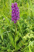 stock photo of grassland  - Northern Marsh Orchid - Dactylorhiza purpurella Whole plant in Machair grassland - JPG