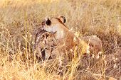 Постер, плакат: Lioness With Cub In Masai Mara